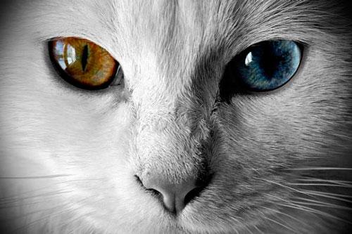 воспаление век у кота