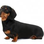 Дископатия: есть ли шанс у собаки на полноценную жизнь?