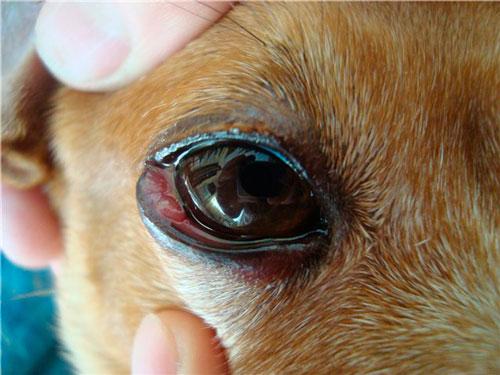 Болезни глаз у собак: симптомы, лечение, фото