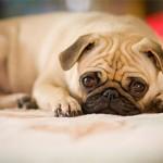 Особенности и лечение гастроэнтерита у собаки