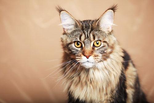 гигантская кошка мейн-кун