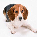 Симптомы и лечение гипотиреоза у собаки