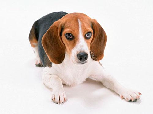 гипотиреоз у собаки