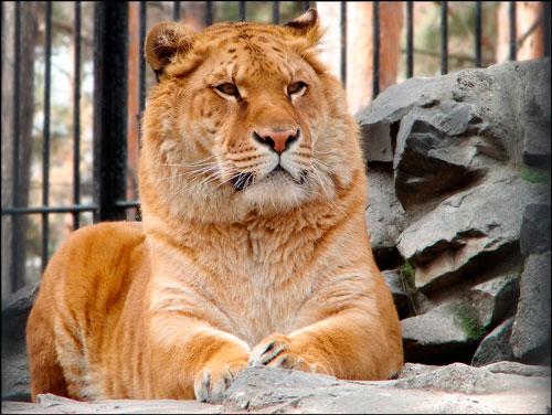 кошка гигант лигр