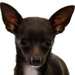 Так ли необходимо купировать уши и хвост собаке?