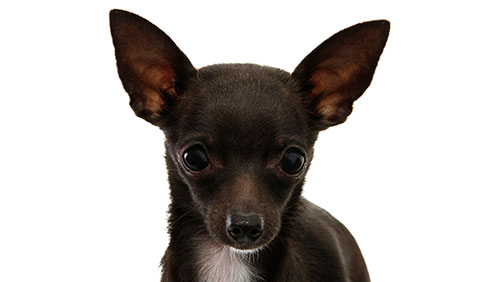 купирование ушей собаке