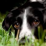Симптомы, пути заражения и способы лечения боррелиоза у собаки