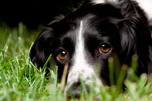 лечение боррелиоза у собаки