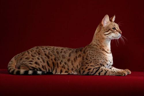 огромный кот Ашера