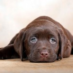 Причины появления и лечение папилломы у собаки