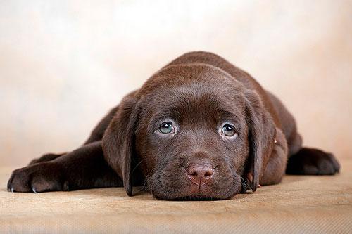 папиллома у собаки
