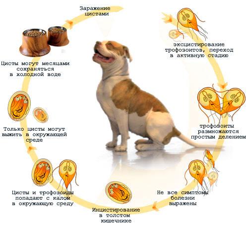 причины лямблиоза у собаки