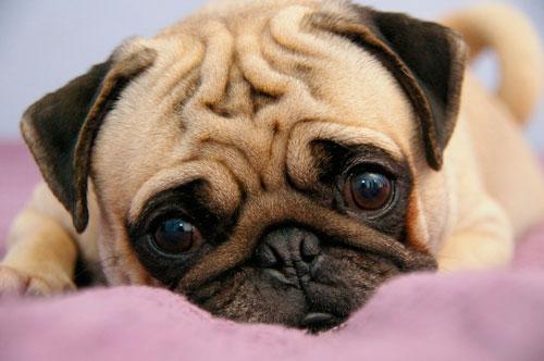 собаки в группе риска по энцефалиту