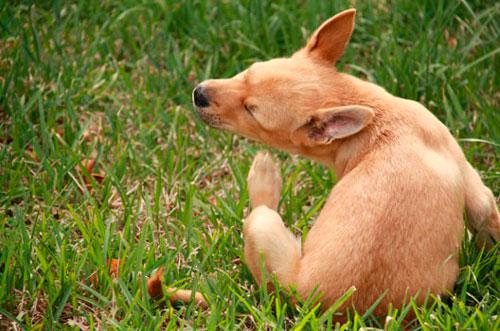 у собаки чесотка