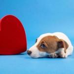 Диагностика и лечение сердечной недостаточности у собаки