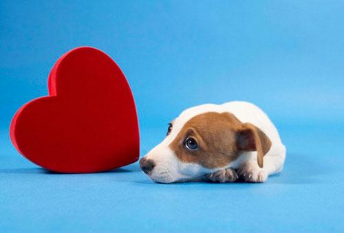 у собаки сердечная недостаточность