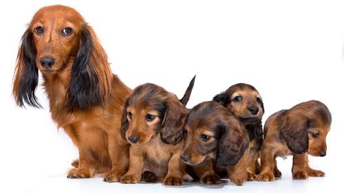 уход за собакой после родов