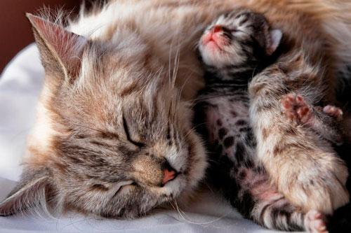 Что делать если кошка рожает