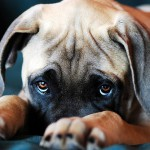 Разновидности и лечение чесотки у собаки