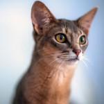 Абиссинская кошка: происхождение, характер и уход