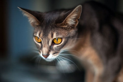 гордый абиссинский кот
