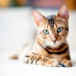 Бенгальская кошка: леопард в миниатюре