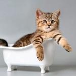 Купание кошки: а стоит ли?