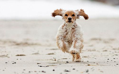 кокер спаниель на пляже