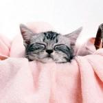 Почему мурлычут кошки и для чего они это делают?