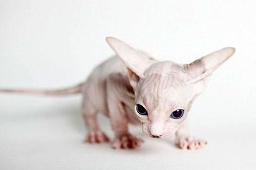 красивый лысый котенок