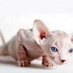 Бесшерстные кошки: особенности и правильный уход