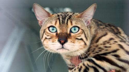питание для бенгальского кота