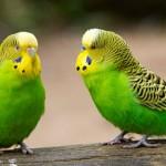 Продолжительность жизни волнистых попугаев