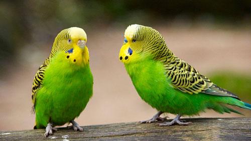 продолжительность жизни волнистых попугайчиков