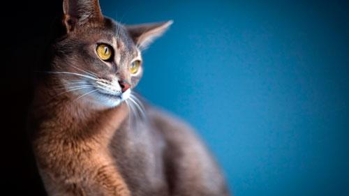 уход за абиссинской кошкой