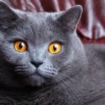 Британская короткошёрстная кошка: настоящий аристократ