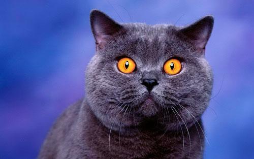 голубой окрас шерсти британской кошки