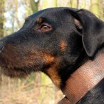 Ягдтерьер: стальной характер для опытных собаководов