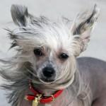 Китайская хохлатая собака: голая и аристократичная