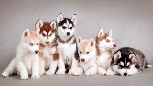 милые щенки хаски