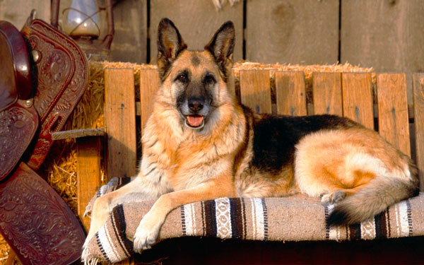 немецкая овчарка на диване