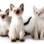 Сиамская кошка: загадочная и своеобразная