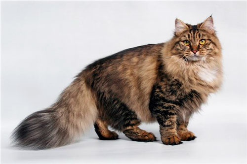 окрас шерсти сибирской кошки