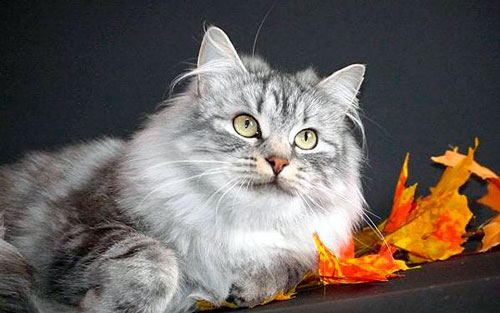 повадки сибирских кошек