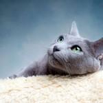 Русская голубая кошка: описание породы и особенности ухода
