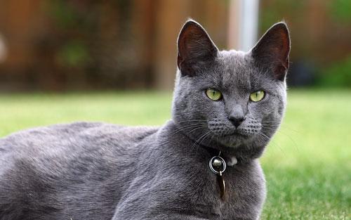 русская голубая кошка на природе