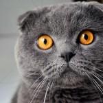 Шотландская вислоухая кошка: оригинальная и роскошная