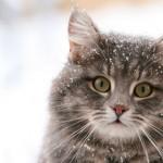 Сибирская кошка: описание вида, характера и особенностей ухода