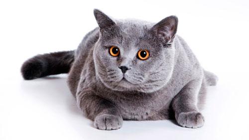 уход за британской голубой кошкой