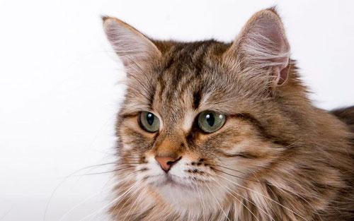 уход за сибирской кошкой